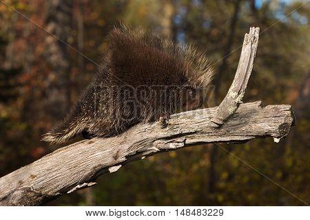 Porcupine (Erethizon dorsatum) Clambers Up Branch - captive animal