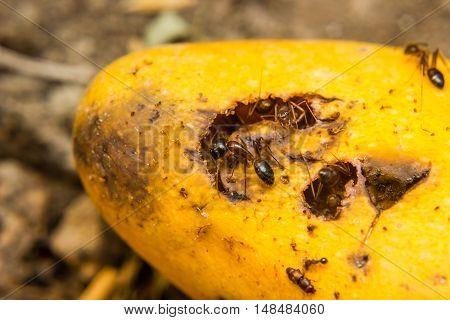 ants swarming mango drop on the floor