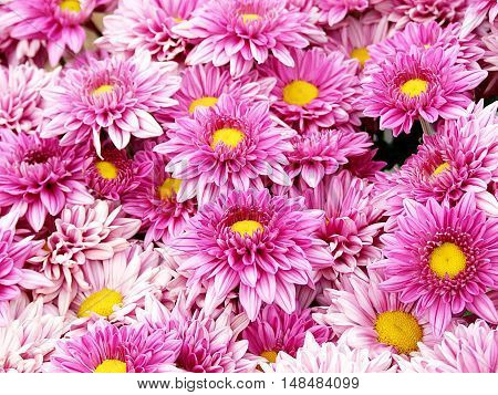 Pink Chrysanthemum flowers, beautiful flowers in the garden for background