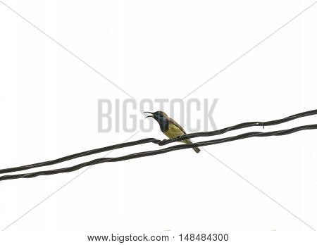 Mugimaki Flycatcher Yellow Bird On Wire With Isolated, White Background.