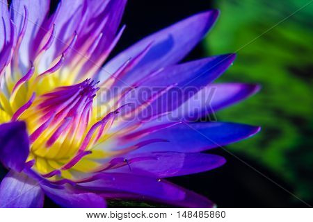 part of purple Lotus Water Lilly pollen