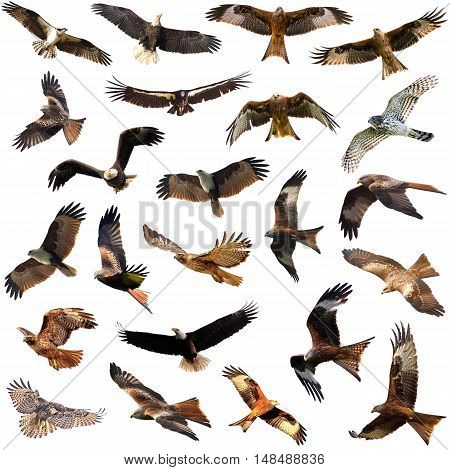 Eagles and Hawks isolated on the white background