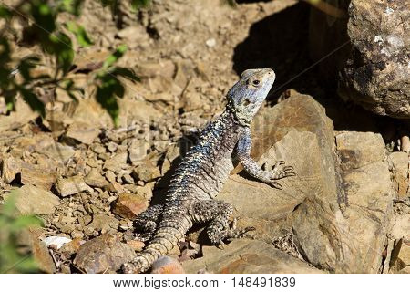 Forest dragon in tropic of India. Macro photo of reptiles. Lizard
