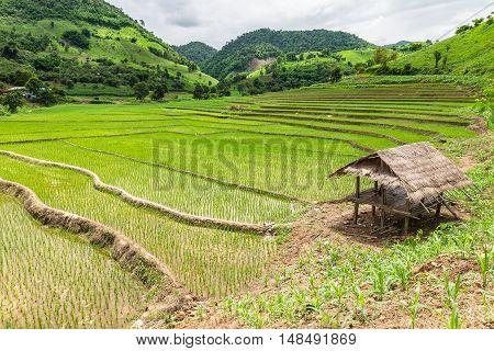 Rice seedlings were grown in the farmland