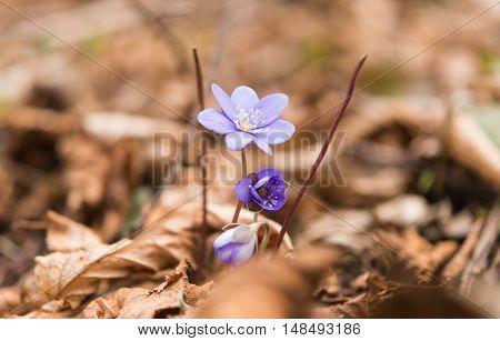 Hepatica flowers that bloom in early spring