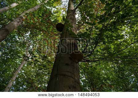 Two tinger fungus on a beech tree