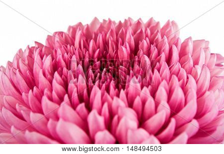 decoration chrysanthemum flower on a white background