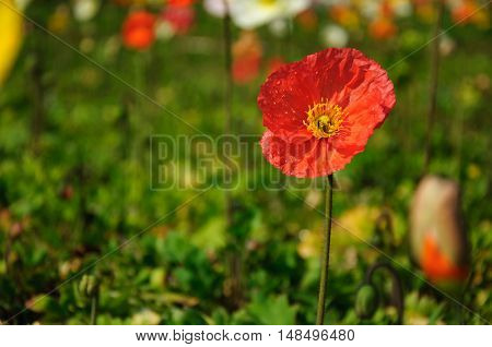 The blossoming Corn poppy flowers closeup in garden