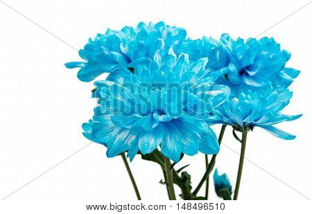 blue chrysanthemum flowers on a white background