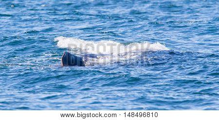 Large Sperm Whale Near Iceland