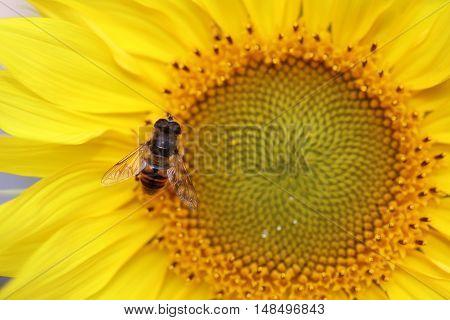 Closeup shot of a Honey Bee on Sunflower