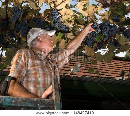 Senior Farmer  Inspecting The Fresh Grape Crop