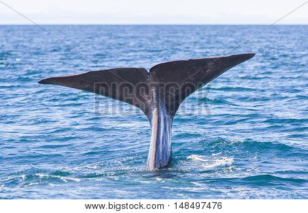 Tail Of A Sperm Whale Diving