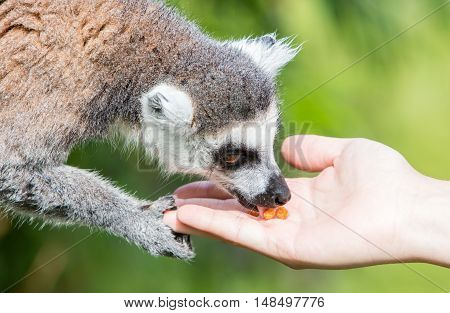 Lemur With Human Hand - Selective Focus