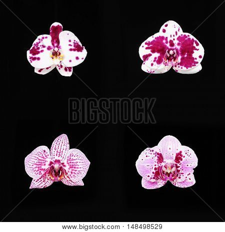 Four orchids on the black background