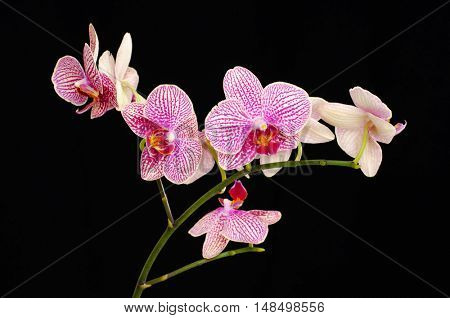Beautiful branch of pink orchids isolated on a black background