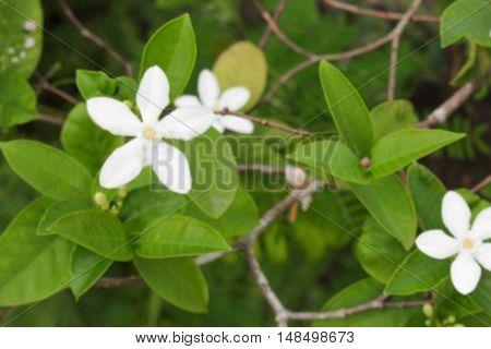 Blur blurred Cosmetic Bark Tree or Inda Orange Jessamine Satin-wood white flower beautiful  (Scientific name Wrightia  antidy senterica R. Br.) for background