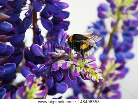 the bumblebee drinks nectar from a lupine flowers