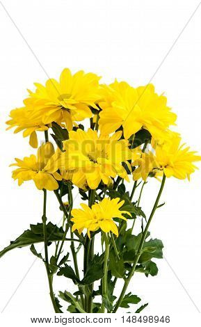 bouquet yellow chrysanthemum isolated on white background