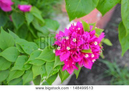 Blur blurred Bougainvillea flower Paper purple beautiful natural in garden for background