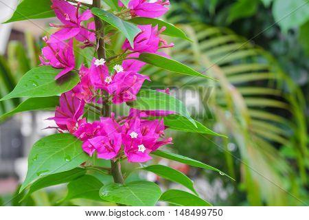 Bougainvillea Paper flower purple beautiful natural in garden