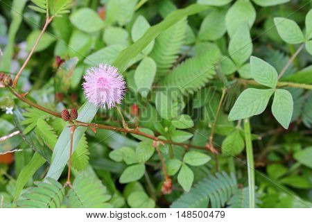 ensitive plant Mimosa pudica flower sleepy Selective focus with shallow depth of field.