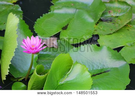 Lotus lilly purple on water beautiful selective focus and soft background And copy space
