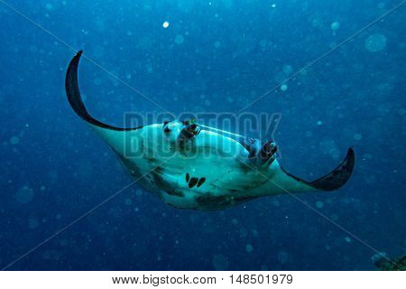 Nusa Penida Bali Manta Ray Close Up Portrait