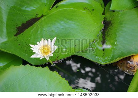 Lotus lilly white on water beautiful selective focus and soft background