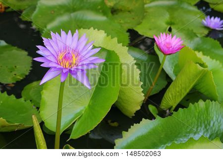 Lotus lilly purple on water beautiful selective focus and soft background Top view