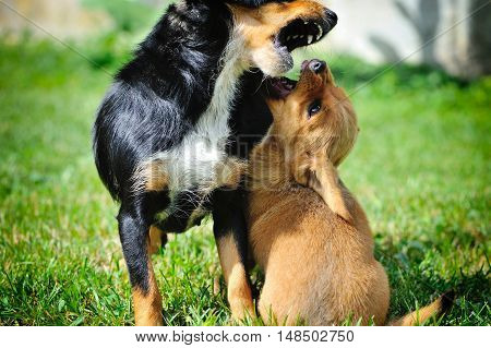 Funny little red-haired puppie played with his mother