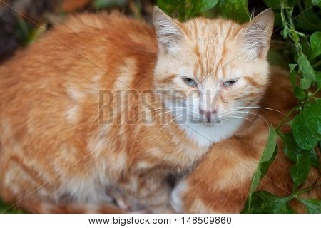 Ginger domestic cat among a green leaves.