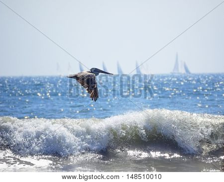 Brown pelican flies low over water and hunting at San Diego