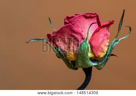Wilted rose. Dried pink roses on background. focus on front rose.