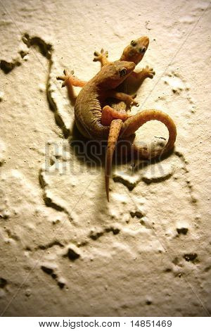 Mating Geckos