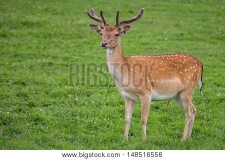 Fallow deer in the wild in a clearing