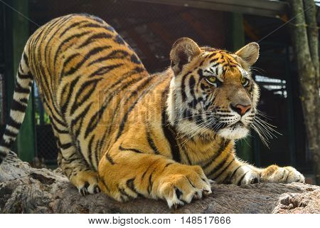tiger sharpening its claws on a log in the wild nature