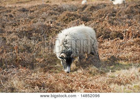 Sheep Grazing On Moorland