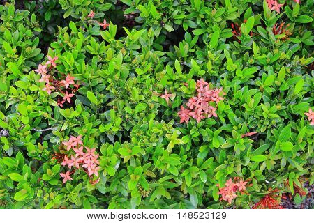 selective focus leaf tree red flower spike Rubiaceae Ixora coccinea for background