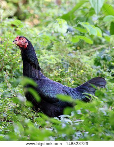 Image of a black hen in green field.
