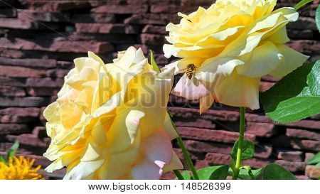 The wasp takes the nectar of the gorgeous yellow roses
