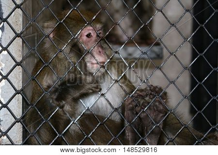 Sad monkey in a cage of zoo