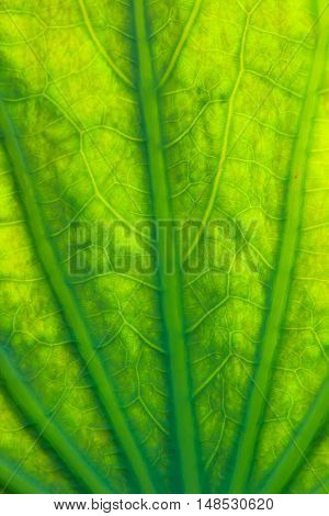 close up of lotus leaf textures background