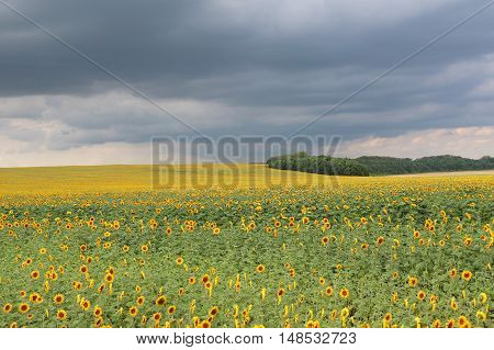 Sunflowers before the storm in the field