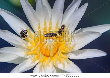 close up Bee on waterlily or lotus flower