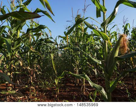 Cornfield corn crop farm field agriculture cereal plant