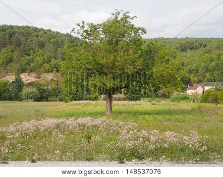 walnut tree whose fruit is the nut which is used as food