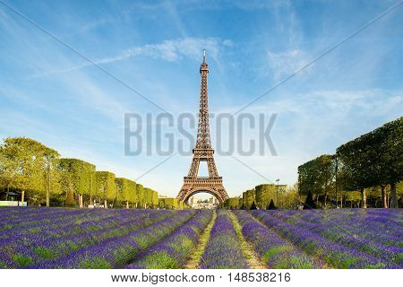 Beautiful purple lavender filed with Eiffel tower in background in Paris France. Eiffel tower in morning in Paris France.