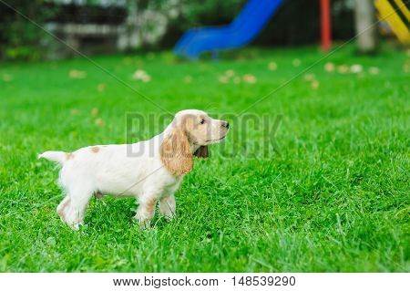 Puppy American Cocker Spaniel standing on a green lawn