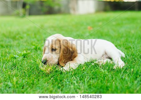 Puppy American Cocker Spaniel lying on a green lawn